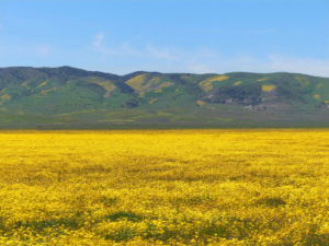 Wildflowers carpet the Carrizo plains